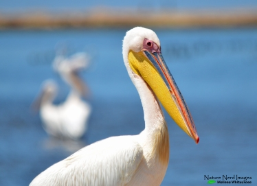 A handsome great white pelican