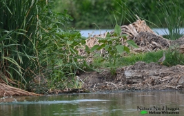 Can you see the greater painted-snipe?