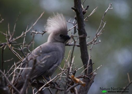 Grey-go-away bird with a crazy hair day