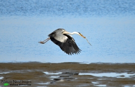 Grey heron flying away with his catch