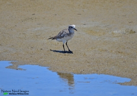 Grey plover wandering the mud flats
