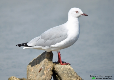 Possible hybrid gull