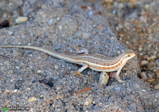 Striped skink at our room
