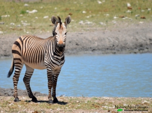 Haartman's zebra at the waterhole