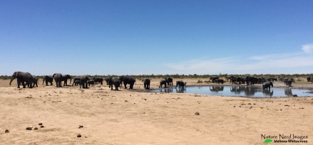 Huge herds of elephants