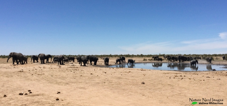 Huge herds of elephants