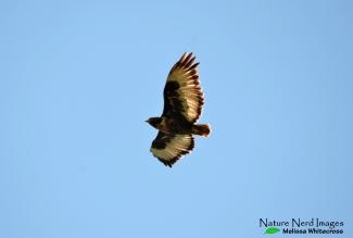 Jackal buzzard fly by