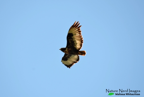 Jackal buzzard fly by