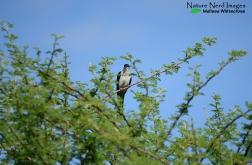 Jacobin cuckoo up in an Acacia