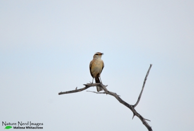 Kalahari scrub robin on our drive out