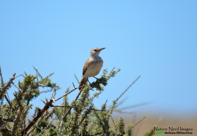 Karoo long-billed lark on his singing post