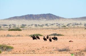 Lappet-faced vultures eating something dead