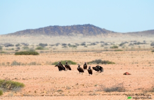 Lappet-faced vultures eating something dead