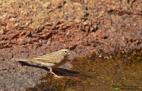 Lark-like bunting drinking at the rock pools