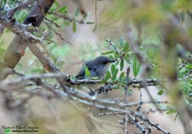 Layard's tit-babbler fledgling