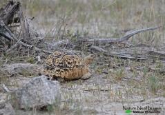 A little leopard tortoise