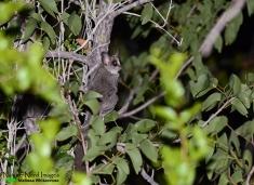 Lesser bushbaby at Halali