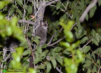 Lesser bushbaby at Halali