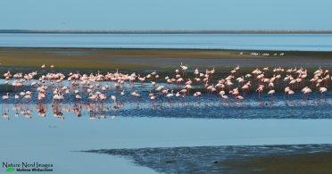 The flamingoes being twitched