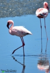 Lesser flamingo in the bay