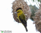 Female weaver at her nest