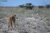 Lion 2 - Etosha, Namibia
