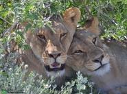 Lion 4 - Etosha, Namibia
