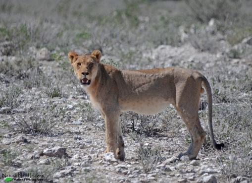 Lion near Nebrownii