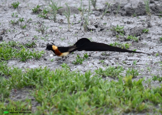 Long-tailed paradise-whydah male