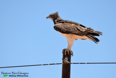 Martial eagle keeping an eye on us