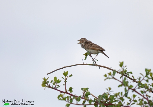 Monotonous lark with its distinctive throat puffed