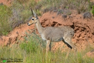 A very tame mountain rhebok