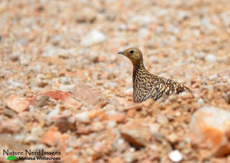 Namaqua Sandgrouse Female - Hotsas, Namibia