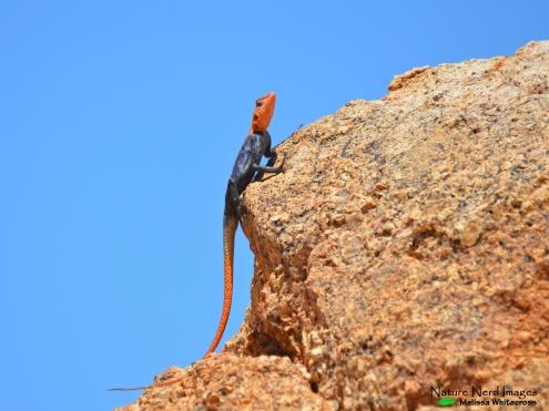 Male Namib rock agama