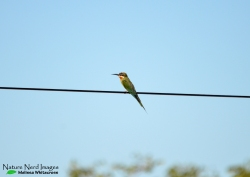 An adult olive bee-eater with streamers