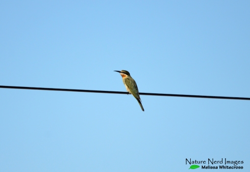 A young olive bee-eater