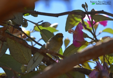 Orange river white-eye checking us out