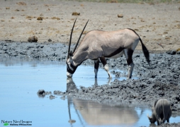 Oryx drinking