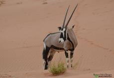 A very skinny gemsbok in the dunes