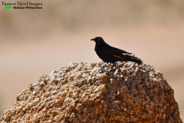Pale-winged Starling - Spitskoppe, Namibia