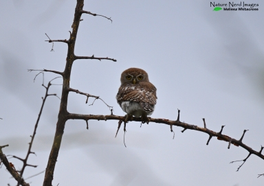Pear-spotted owl looking angry