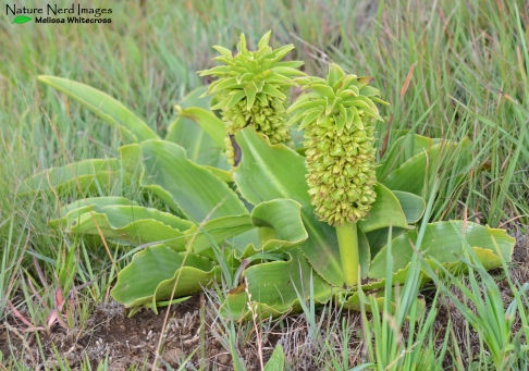 Pineapple flowers or Eucomis