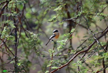 Pririt batis female hoping around