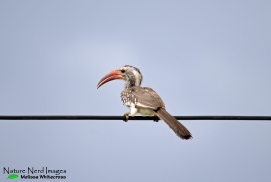 Red-billed hornbill (purebred this time)