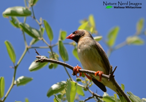 Red-billed quelea giving us the side eye