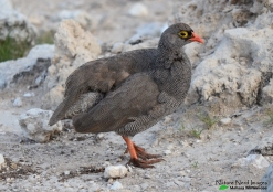 Gorgeous red-billed spurfowl