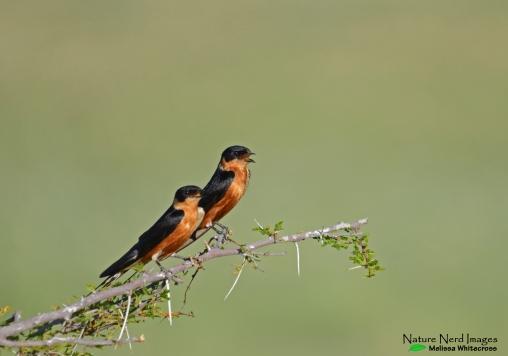 Red-breasted Swallow (pair) 1 - Etosha, Namibia