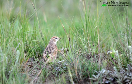Red-capped lark skittering through the patchy grass