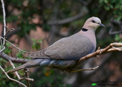 Full body shot of a red-eyed dove