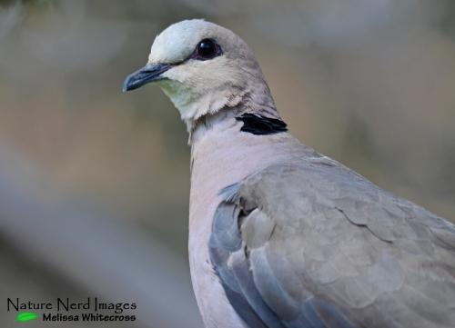Red-eyed dove headshot